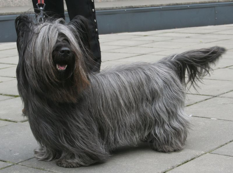 Skye Terrier Best Dogs