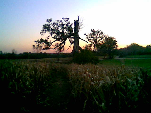 corntree.jpg