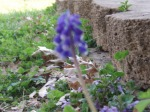 bluebell surprise 023