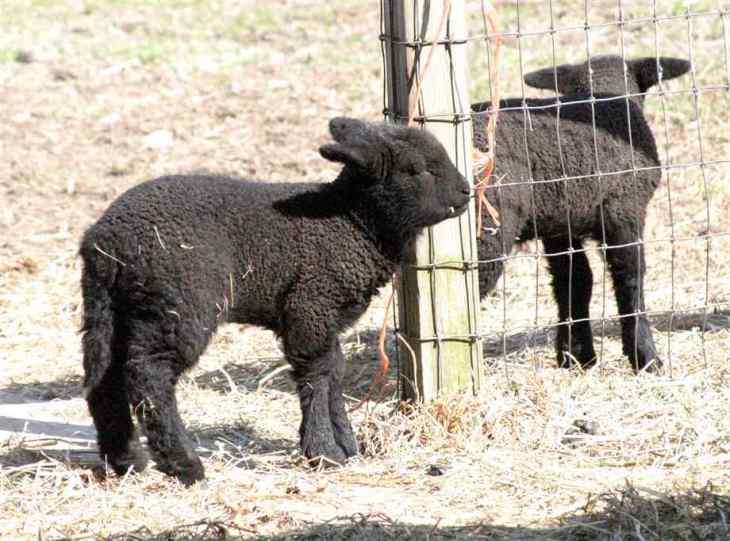 sheep (22)