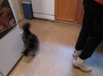 This is the new kitty stalking my mom for turkey.