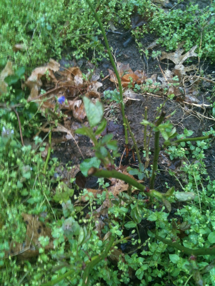 Yes, it's blurry. But it's leaves! Leaves on the moved rose.