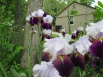 The irises, just hanging out.