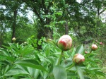 I love peonies when they're like this--fat marbles.