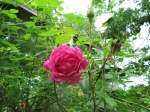 One rose is blooming.