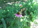 Butterfly on coneflower.