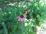 Butterfly on coneflower.