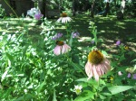 Bees on coneflowers.
