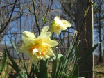The daffodils that were here when we moved in are loving this cold winter.