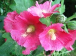 I'm not gardening this year, but the hollyhocks don't give a shit.
