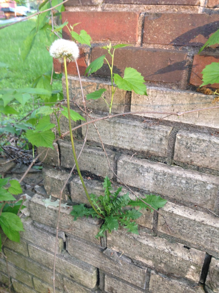 If all you need to do is live long enough to reproduce, then this dandelion, literally growing in brick dust, has already won at life.