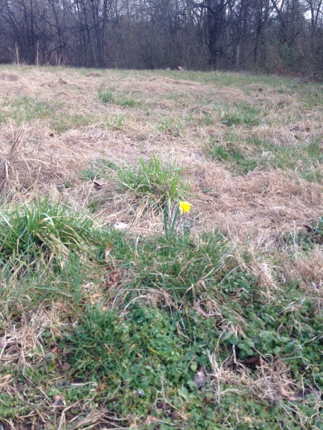 This daffodil sprang up in this field last year. I was happy to see it back again this year. But how did it get here? I think a squirrel must have dug something up near a house and buried it here and forgot.